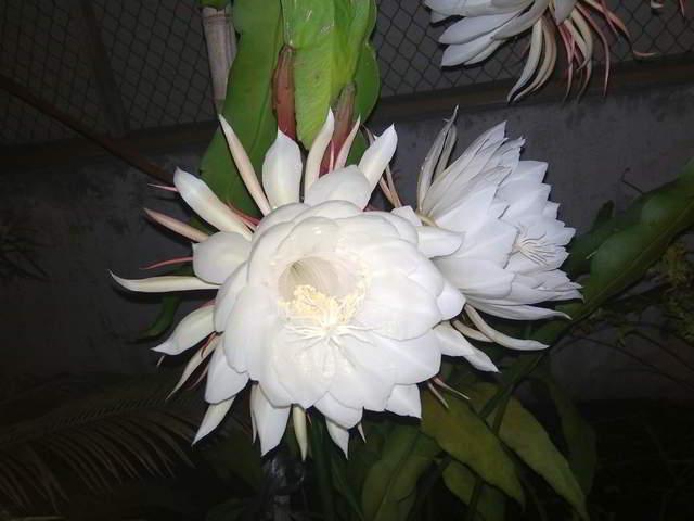 Mekarnya Bunga Mistis Wijaya Kusuma